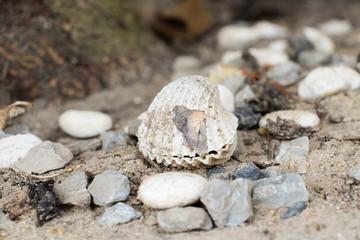 clam, pelecypod, lamellibranch, lamp shell, abalones, babylonia