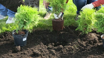 Shrub planting in the ground