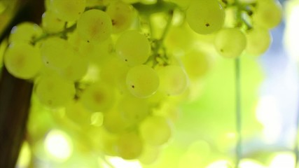 White Grapes 1