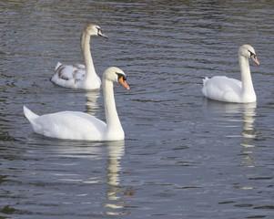 Mute swans generations