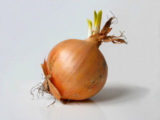 Brown onion bulb with green sprout.