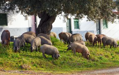 Iberian pigs eating acorns under an oak near some houses, Spain