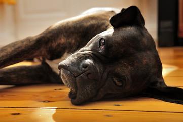 boxer, dog, canine, portrait, friend, love,