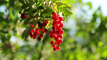 Bunch of bird cherry hanging on a tree