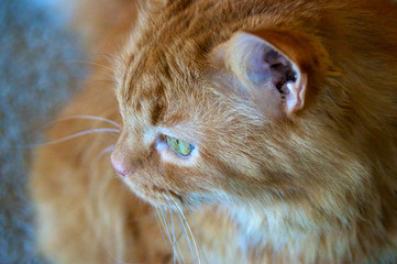 profile of ginger cat looking out window