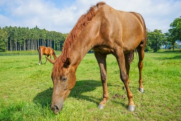 Hannoveraner Pferd auf einer Wiese beim Grasen