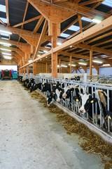 Moderner Rindviehstall von innen, kurz vor der Fütterung