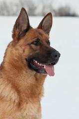 Portrait of a German Shepherd Dog in Winter