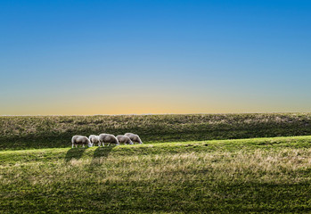 sheeps grazing at the dyke