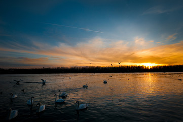 group of swans swimming on the Danube river at sunset