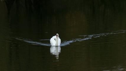 Weißer Schwan schwimmt auf Natursee
