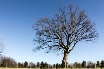 Ash tree without leaves