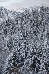 Fir forest. Snow covered in the Pyrenees