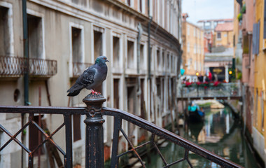 Pigeon in Venice