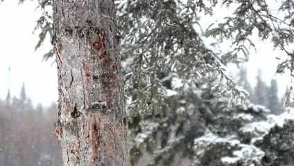 Snowfall Alaska Trees