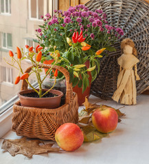 Pepper in a pot on the windowsill and chrysanthemum