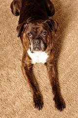 boxer, dog, canine, portrait, friend, home, love, looking