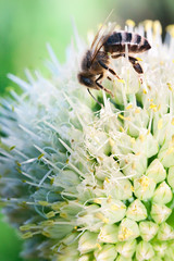 bee on onion