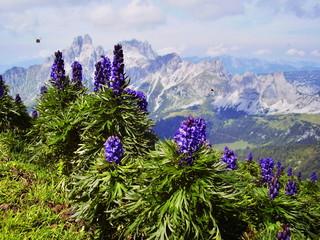 alps flower