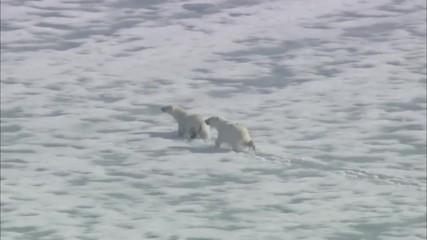 Two Polar Bears Arctic Tundra