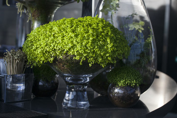 Soleirolia soleirolii in the pot as a decoration of dining table