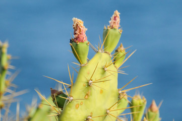 Pricly Pear Wild Green Succulent Cactus