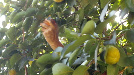Farm worker picks Diospyros kaki