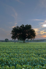 Lonely Tree in the Middle of a Crop Field