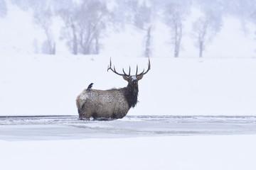 Winter bull elk