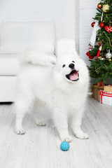 Playful Samoyed dog with ball in room with Christmas tree