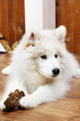 Cute Samoyed dog chewing firewood