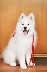 Lovable Samoyed dog with leash before walk