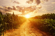 Leinwanddruck Bild - skyline and corn field