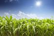 skyline and corn field  - 76616895