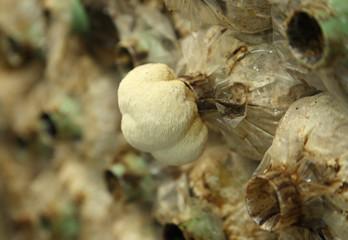 Monkey head mushroom (Yamabushitake mushroom) growing in a farm