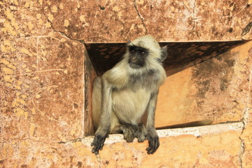 Cautious Peep of Monkey