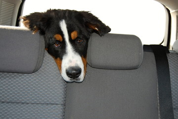 Dog travels in the car