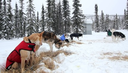 Snow Dogs Alaska Trees