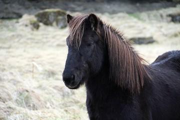 head of black Icelandic horse