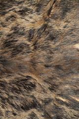 sus scrofa hunting trophy fur