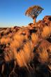 Quiver tree landscape, Namibia