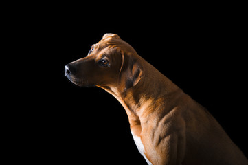 Rhodesian Ridgeback on the black background