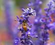 Obrazy na płótnie, fototapety, zdjęcia, fotoobrazy drukowane : Lavender flower with bee