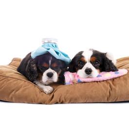 Zwei kranke Hunde