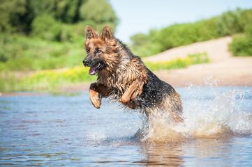 German shepherd dog running in water