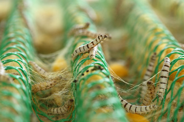 close up of silkworm