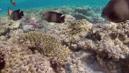 little brown reef fish among the seaweed on the corals of the Re