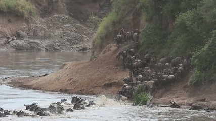 Migratory blue wildebeest crossing the Mara river