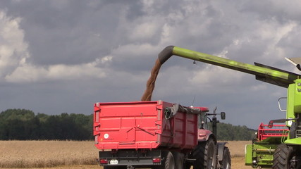 Harvester unloads wheat grain on farmland field background