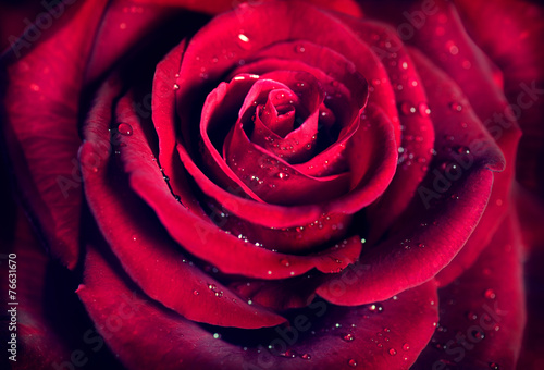 Red rose flower background. Dark red rose closeup